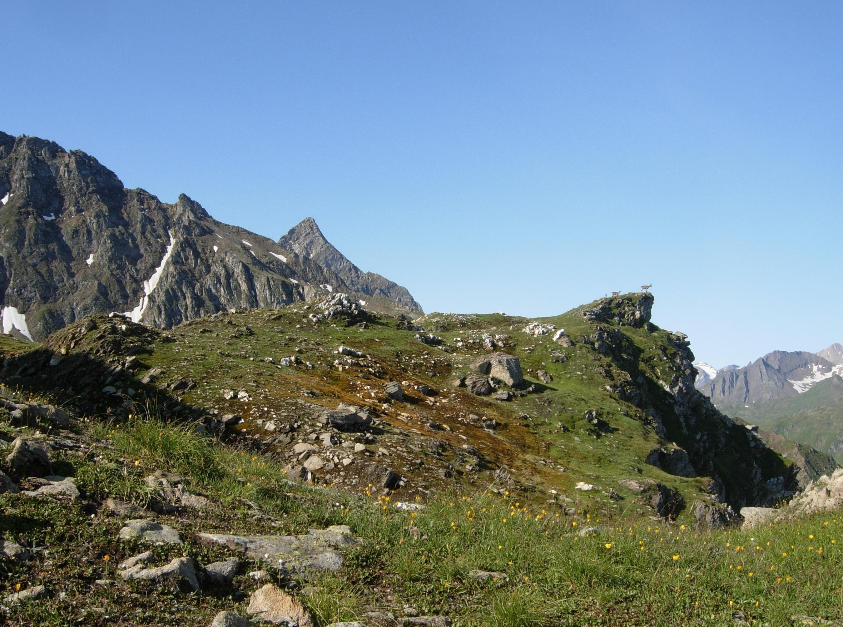 Un gruppo di camosci sul Poncione di  Val Piana