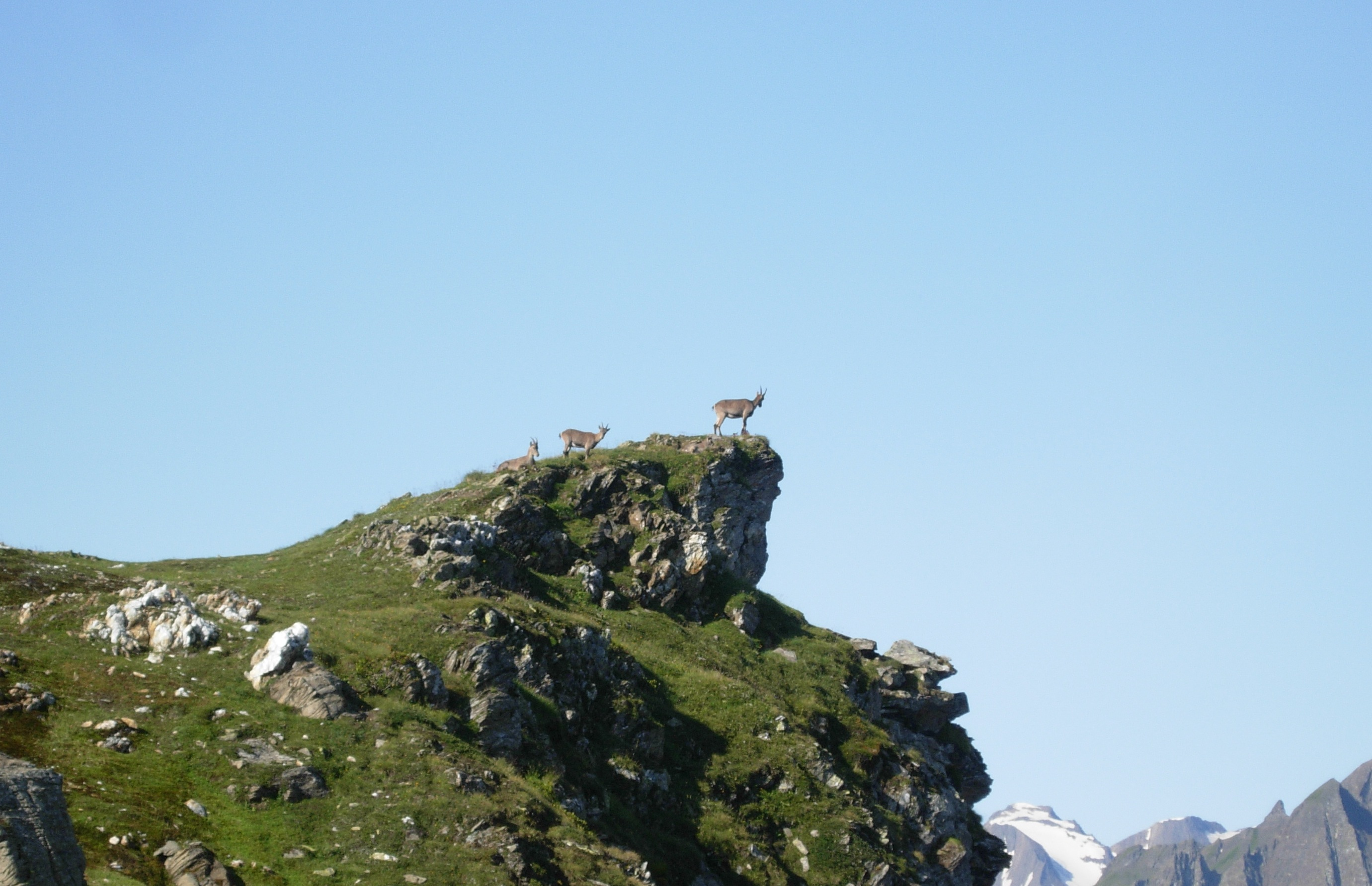 Un gruppo di camosci in alta Val Piana